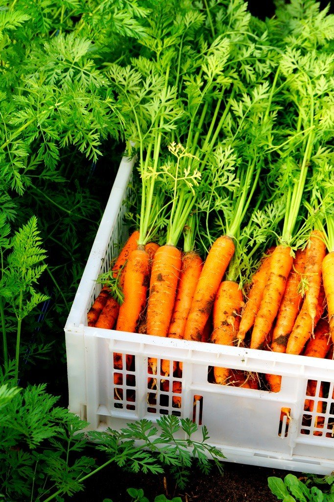 crated carrots