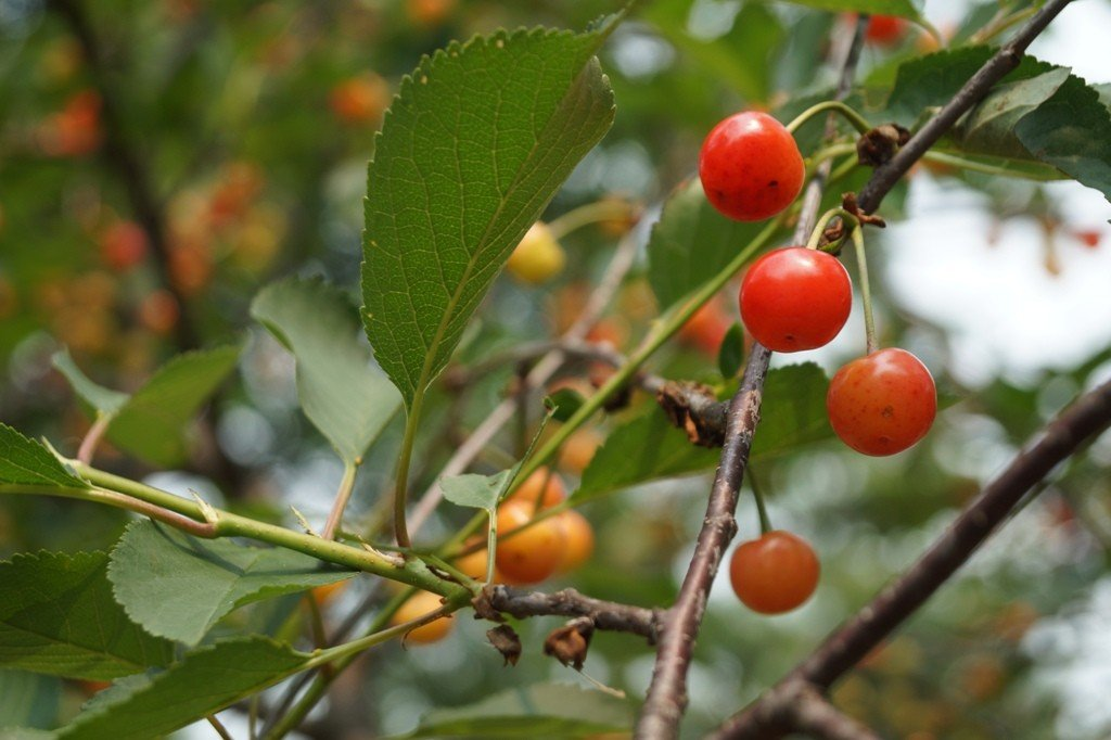 Cherries in tree