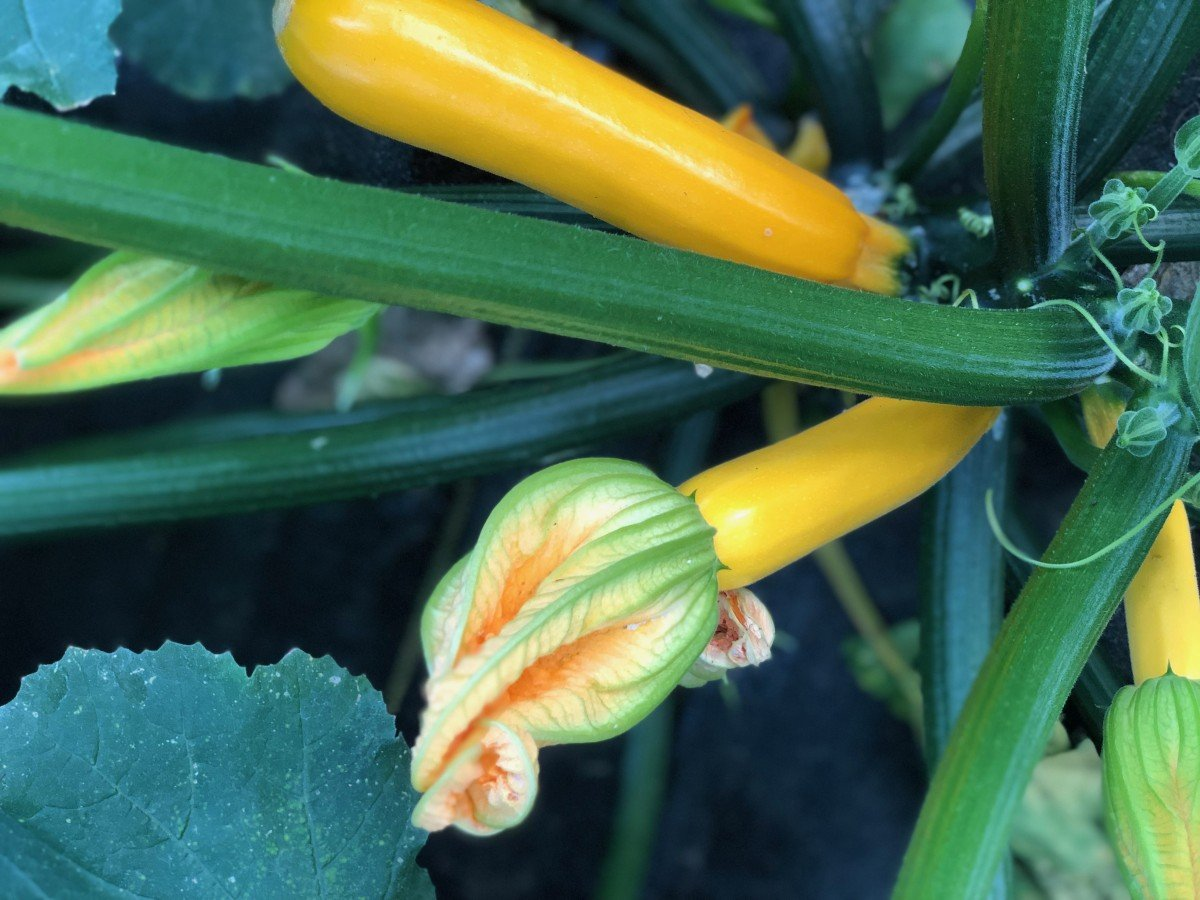 yellow summer squash on the vine