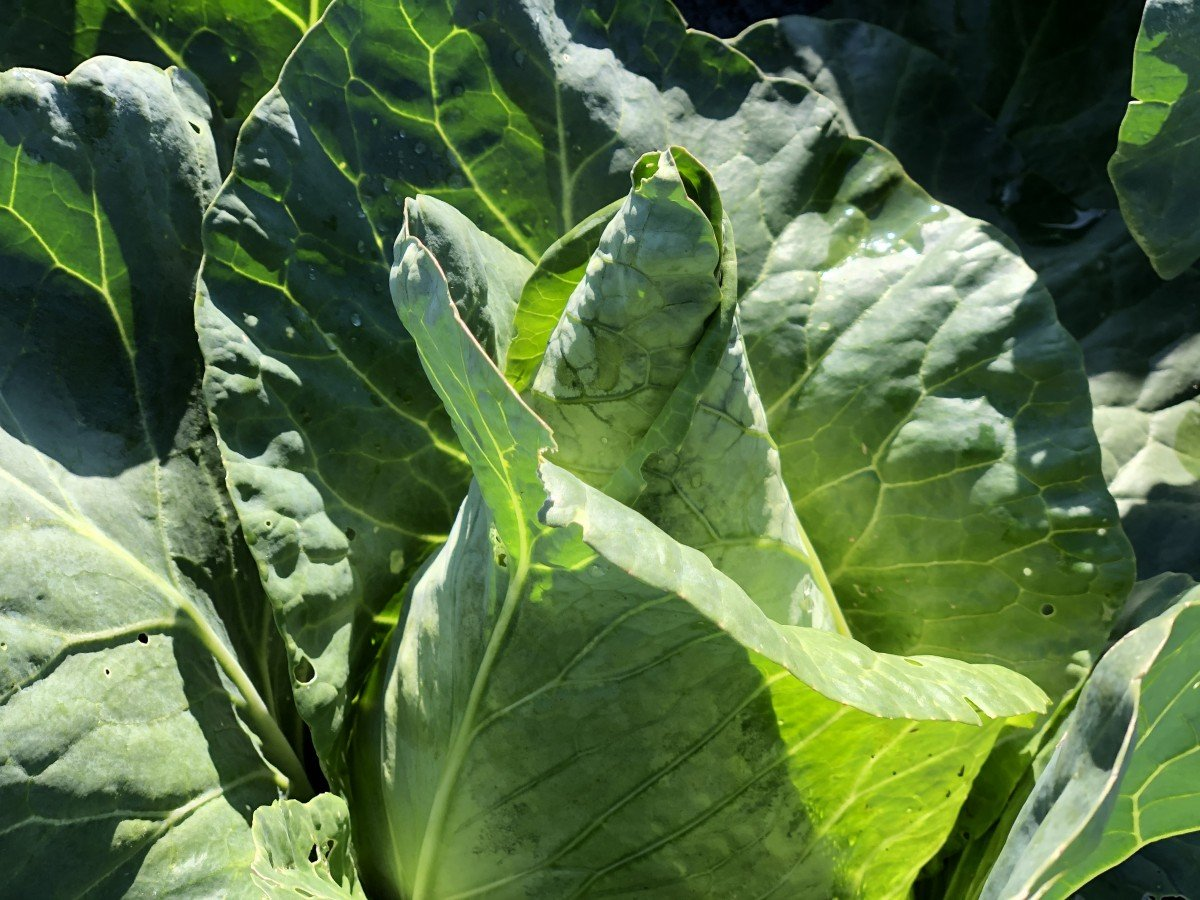 Caraflex cabbage at Perkins' Good Earth Farm