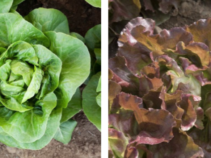 Lettuce Plants Newham and Skyphos Mix
