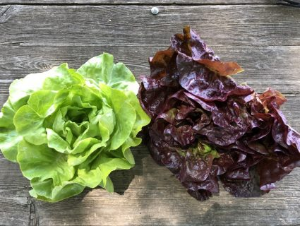 green and red head lettuces