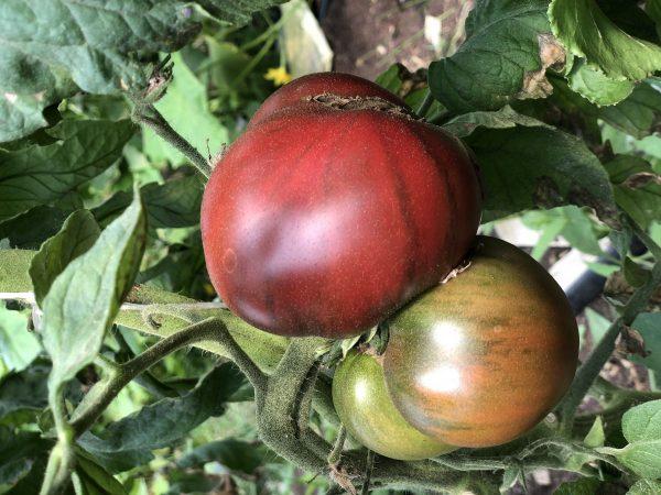 Marnero Heirloom Tomato