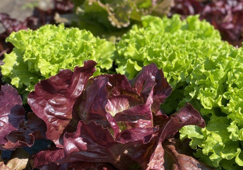 Red and Green head lettuce