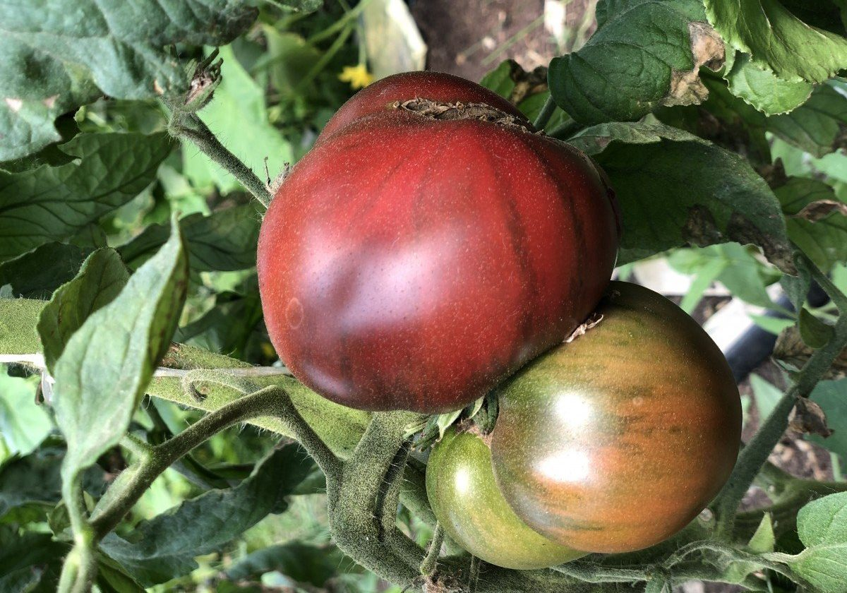 Marnero Heirloom Tomato