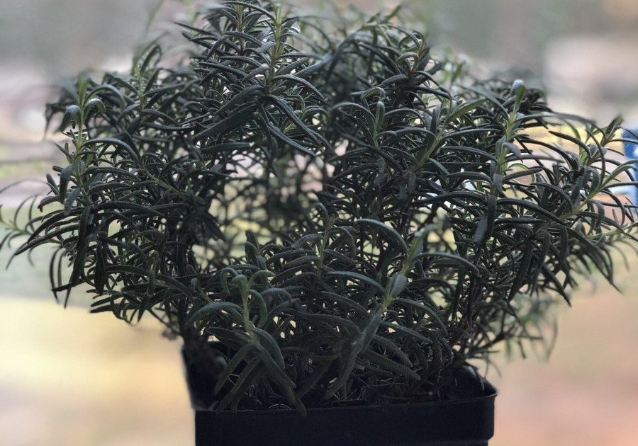 rosemary upright herb plant